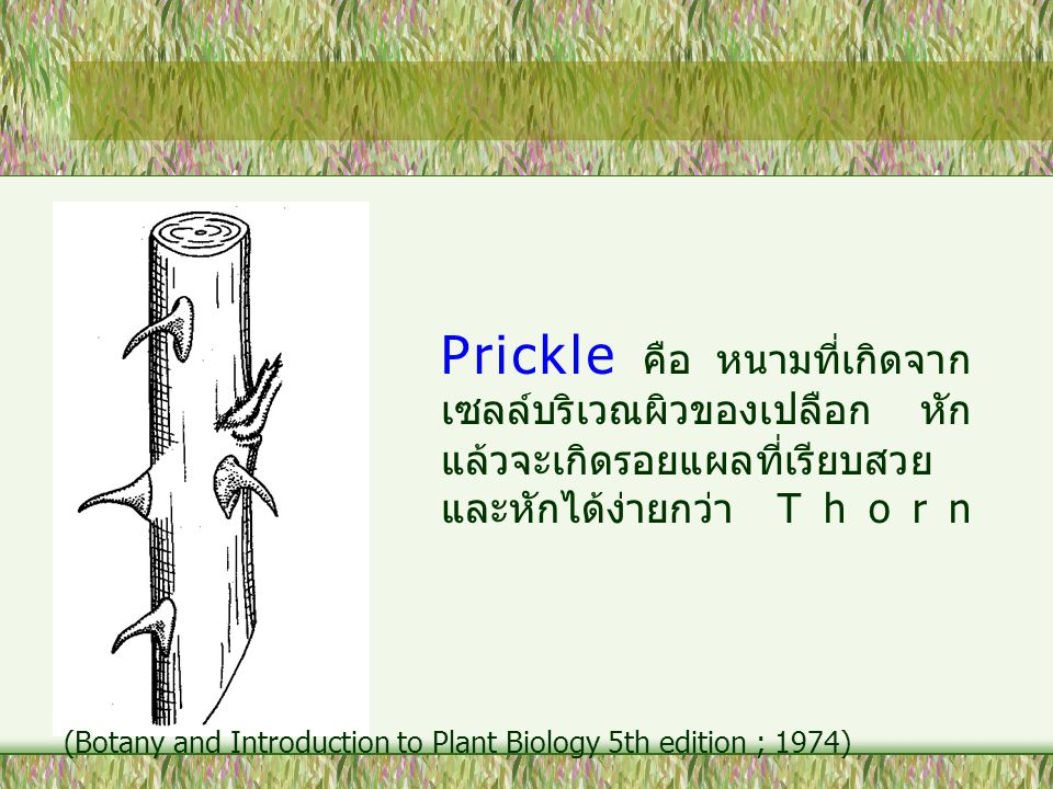 Prickle คือ หนามที่เกิดจากเซลล์บริเวณผิวของเปลือก หักแล้วจะเกิดรอยแผลที่เรียบสวยและหักได้ง่ายกว่า Thorn