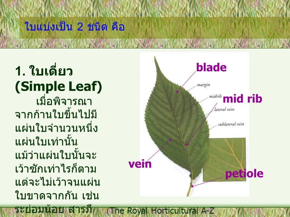 1. ใบเดี่ยว (Simple Leaf)
