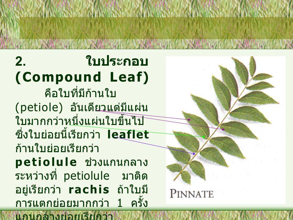 2. ใบประกอบ (Compound Leaf)