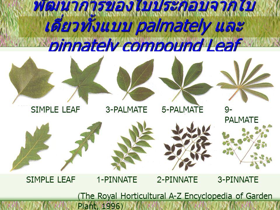 พัฒนาการของใบประกอบจากใบเดี่ยวทั้งแบบ palmately และ pinnately compound Leaf