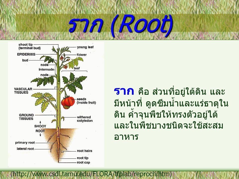 ราก (Root) ราก คือ ส่วนที่อยู่ใต้ดิน และมีหน้าที่ ดูดซึมน้ำและแร่ธาตุในดิน ค้ำจุนพืชให้ทรงตัวอยู่ได้ และในพืชบางชนิดจะใช้สะสมอาหาร.