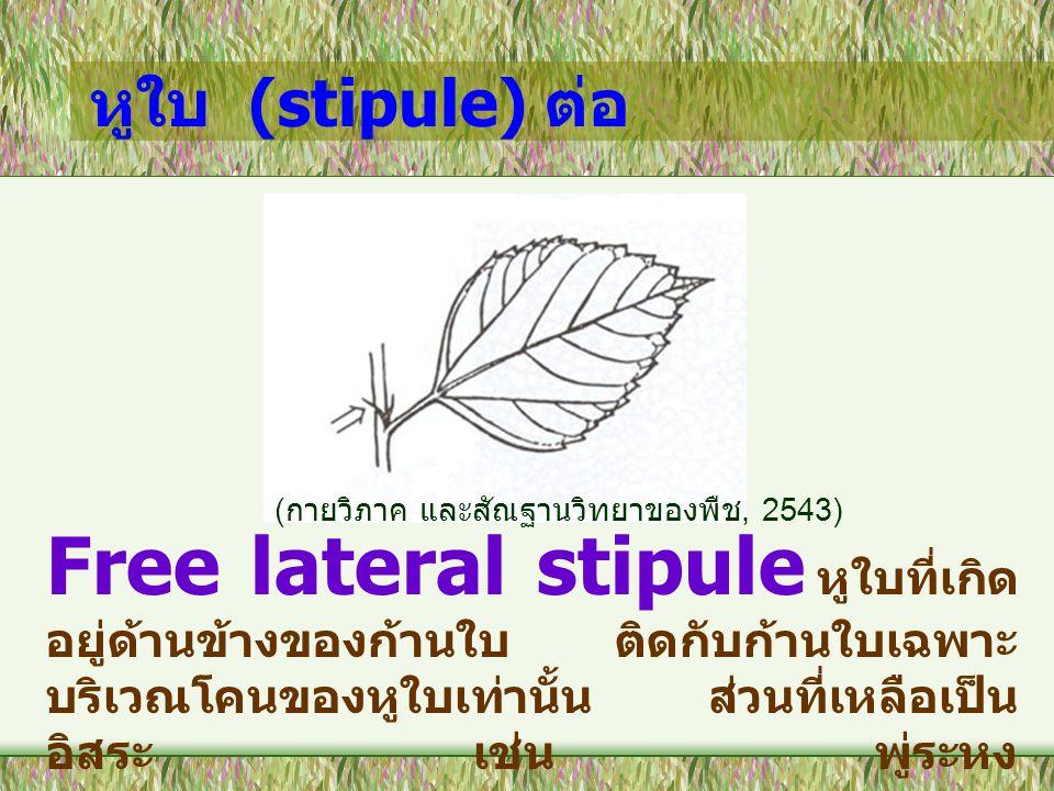 หูใบ (stipule) ต่อ (กายวิภาค และสัณฐานวิทยาของพืช, 2543)