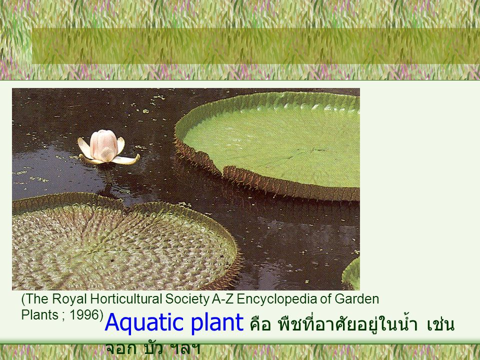 Aquatic plant คือ พืชที่อาศัยอยู่ในน้ำ เช่น จอก บัว ฯลฯ