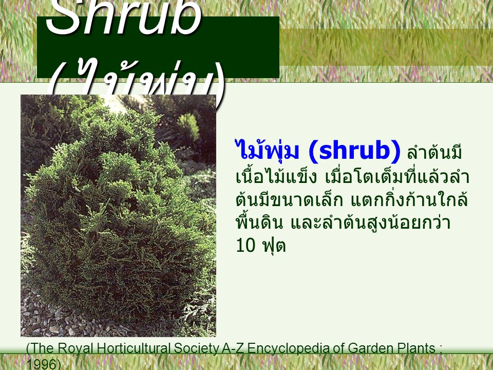 Shrub (ไม้พุ่ม) ไม้พุ่ม (shrub) ลำต้นมีเนื้อไม้แข็ง เมื่อโตเต็มที่แล้วลำต้นมีขนาดเล็ก แตกกิ่งก้านใกล้พื้นดิน และลำต้นสูงน้อยกว่า 10 ฟุต.