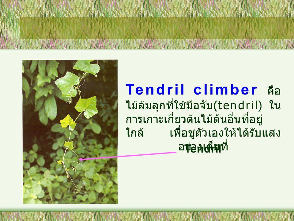 Tendril climber คือ ไม้ล้มลุกที่ใช้มือจับ(tendril) ในการเกาะเกี่ยวต้นไม้ต้นอื่นที่อยู่ใกล้ เพื่อชูตัวเองให้ได้รับแสงอย่างเต็มที่