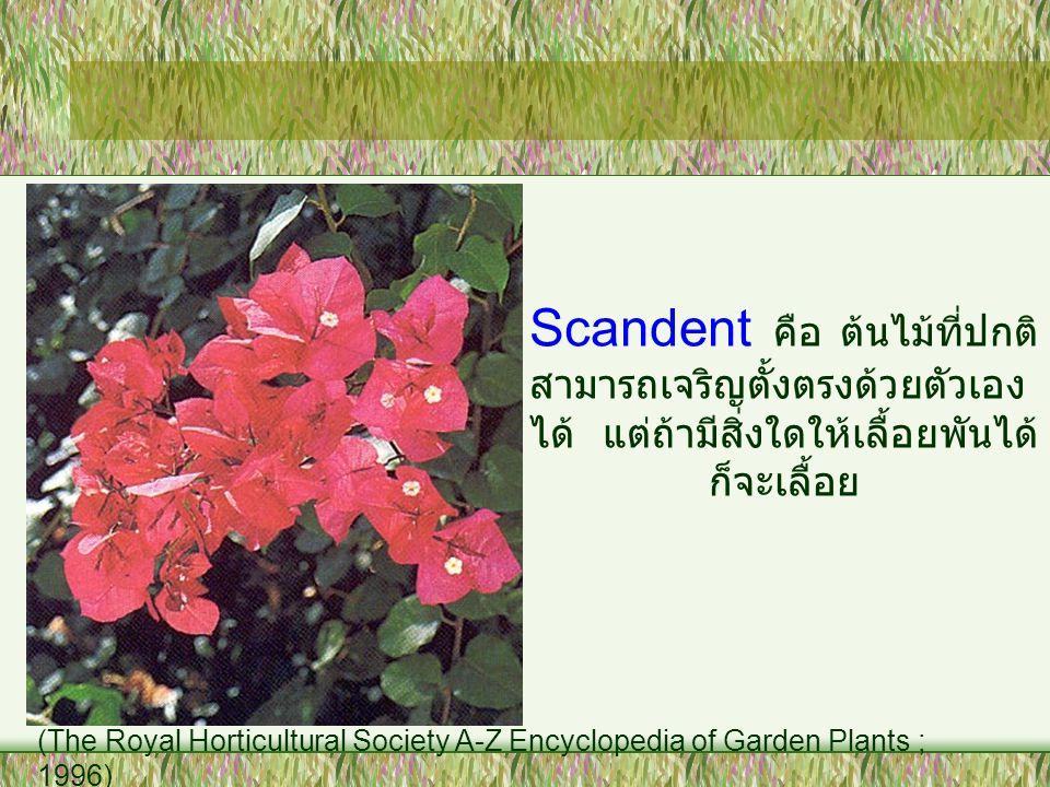 Scandent คือ ต้นไม้ที่ปกติสามารถเจริญตั้งตรงด้วยตัวเองได้ แต่ถ้ามีสิ่งใดให้เลื้อยพันได้ก็จะเลื้อย