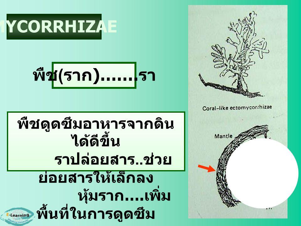 MYCORRHIZAE พืช(ราก)…….รา