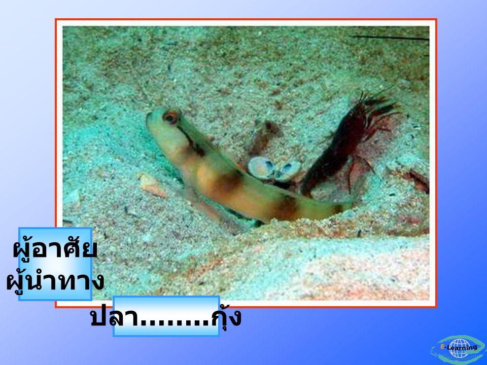 ผู้อาศัย ผู้นำทาง ปลา……..กุ้ง