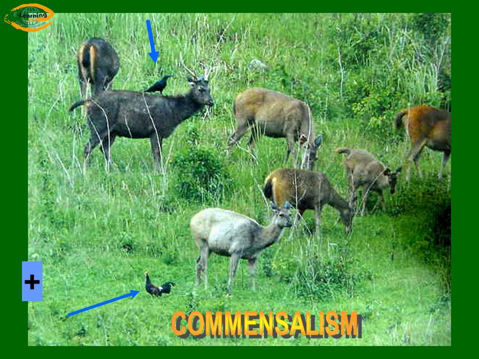 + COMMENSALISM