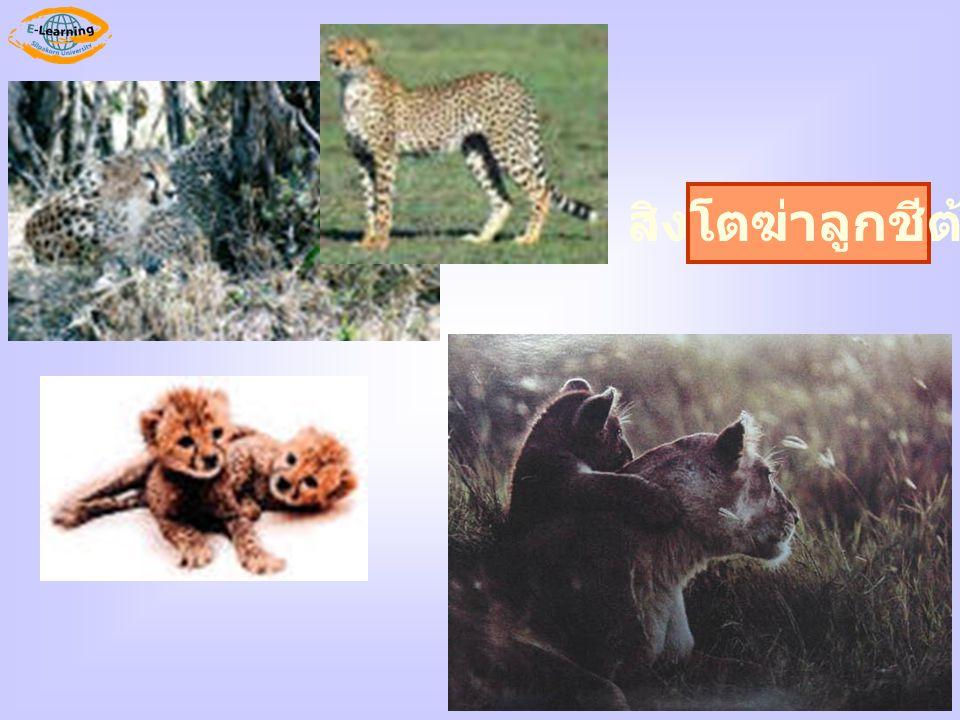 สิงโตฆ่าลูกชีต้า
