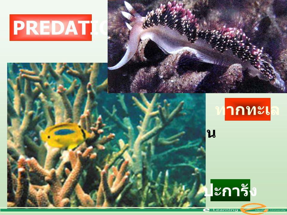 PREDATION ทากทะเล เป็นหอย ใช้ฟันขูดกิน ปะการัง