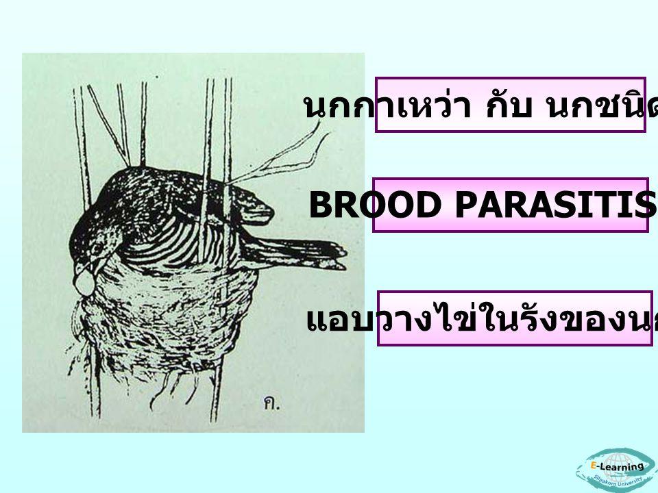 นกกาเหว่า กับ นกชนิดอื่น แอบวางไข่ในรังของนกอื่น