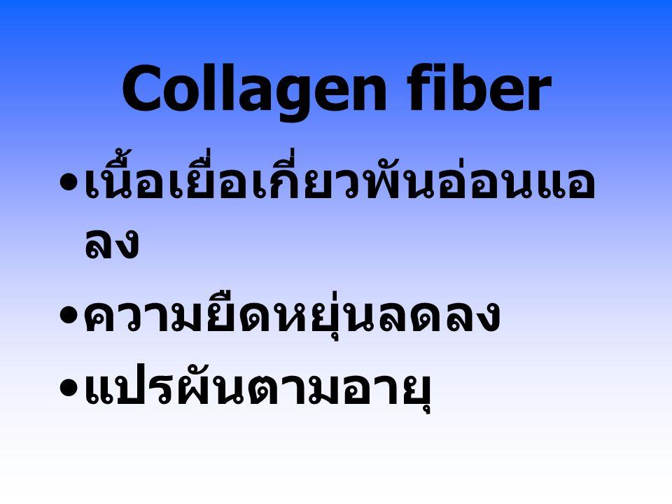 Collagen fiber เนื้อเยื่อเกี่ยวพันอ่อนแอลง ความยืดหยุ่นลดลง