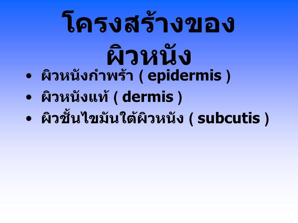 โครงสร้างของผิวหนัง ผิวหนังกำพร้า ( epidermis ) ผิวหนังแท้ ( dermis )
