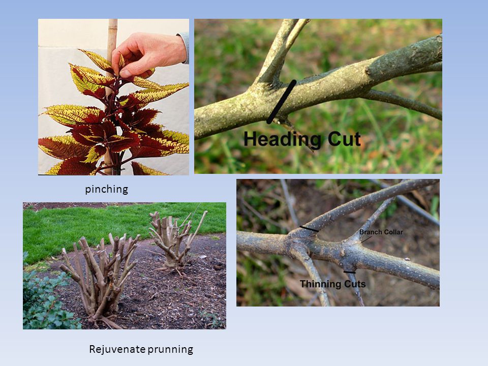 pinching Rejuvenate prunning