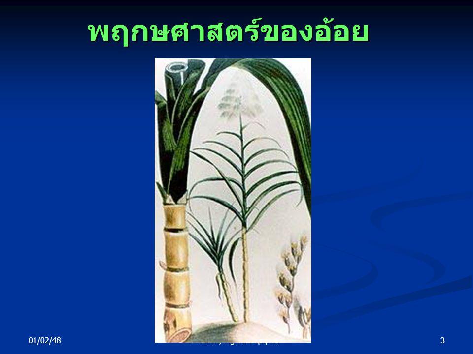 พฤกษศาสตร์ของอ้อย 01/02/48 P Yuhun, Ag Sci Dept, NU