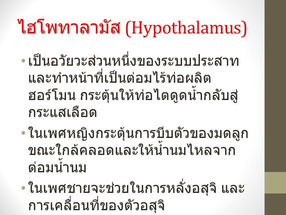 ไฮโพทาลามัส (Hypothalamus)