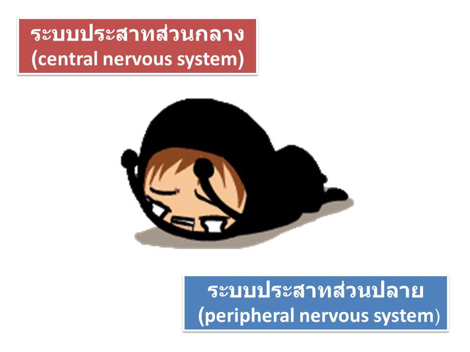 (central nervous system)