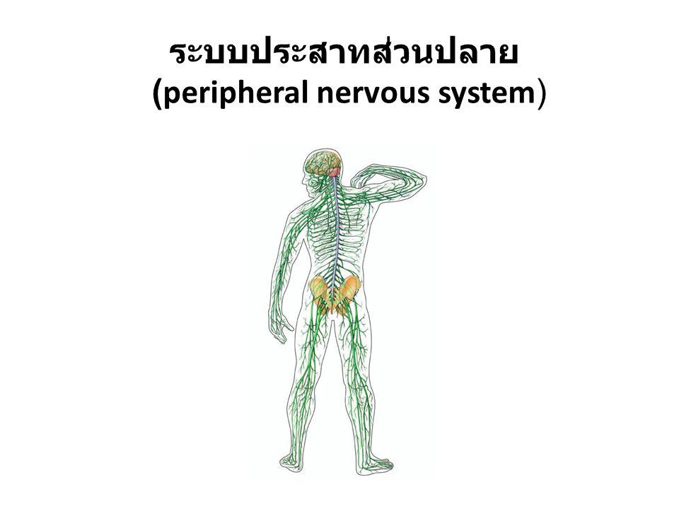 (peripheral nervous system)
