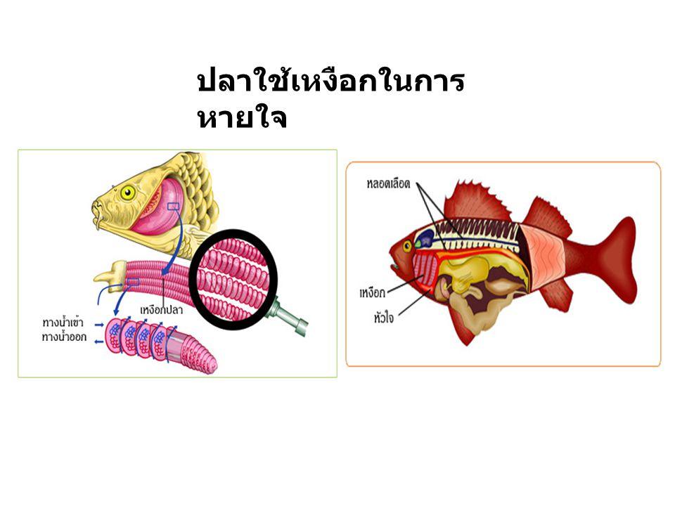 ปลาใช้เหงือกในการหายใจ