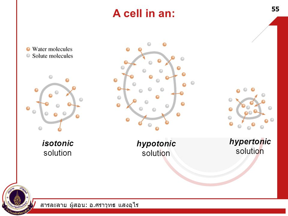 A cell in an: hypertonic isotonic hypotonic solution solution solution