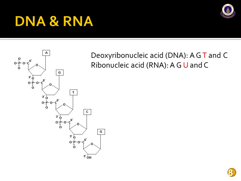 DNA & RNA Deoxyribonucleic acid (DNA): A G T and C