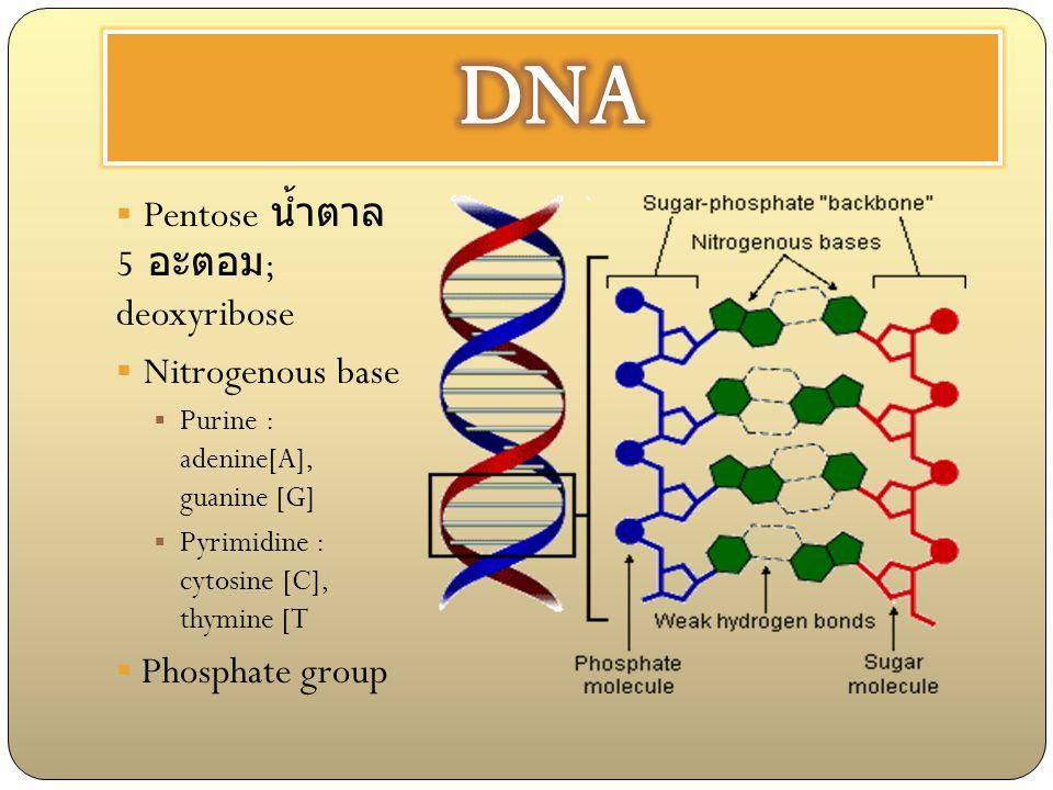 DNA Pentose น้ำตาล 5 อะตอม; deoxyribose Nitrogenous base