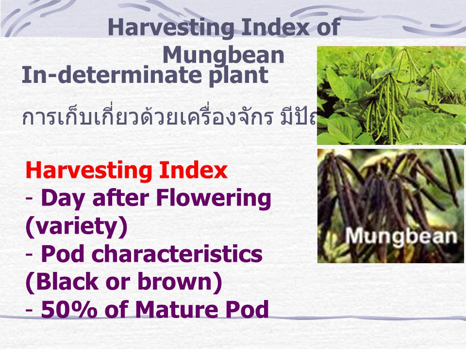 Harvesting Index of Mungbean