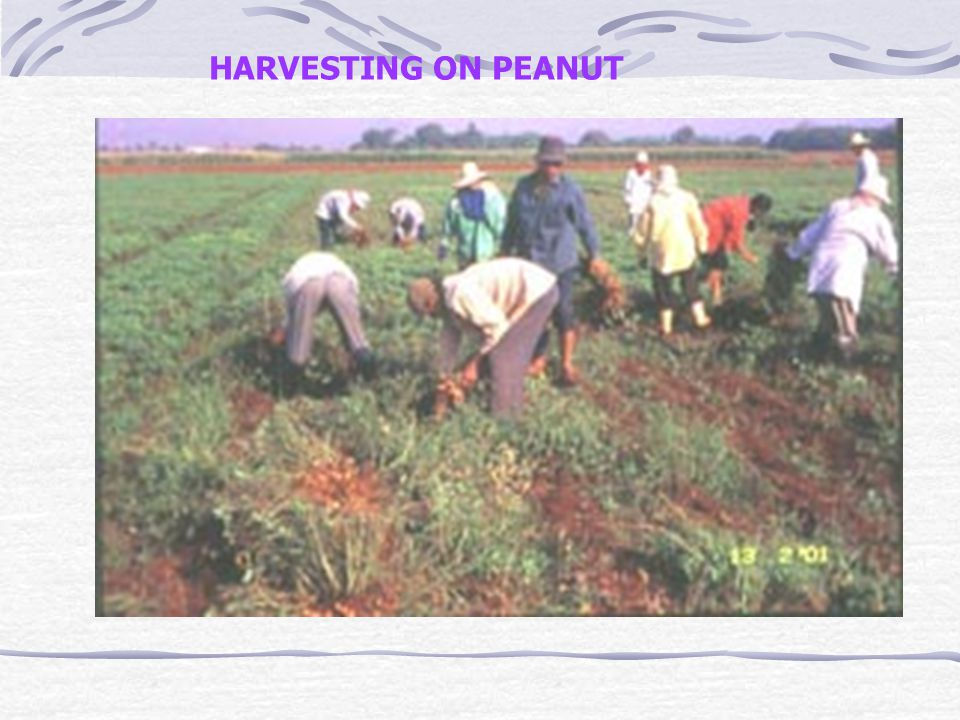 HARVESTING ON PEANUT