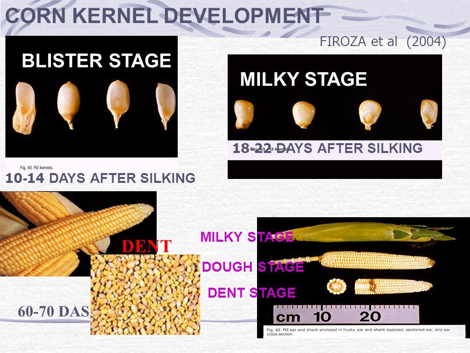 BLISTER STAGE MILKY STAGE CORN KERNEL DEVELOPMENT FIROZA et al (2004)