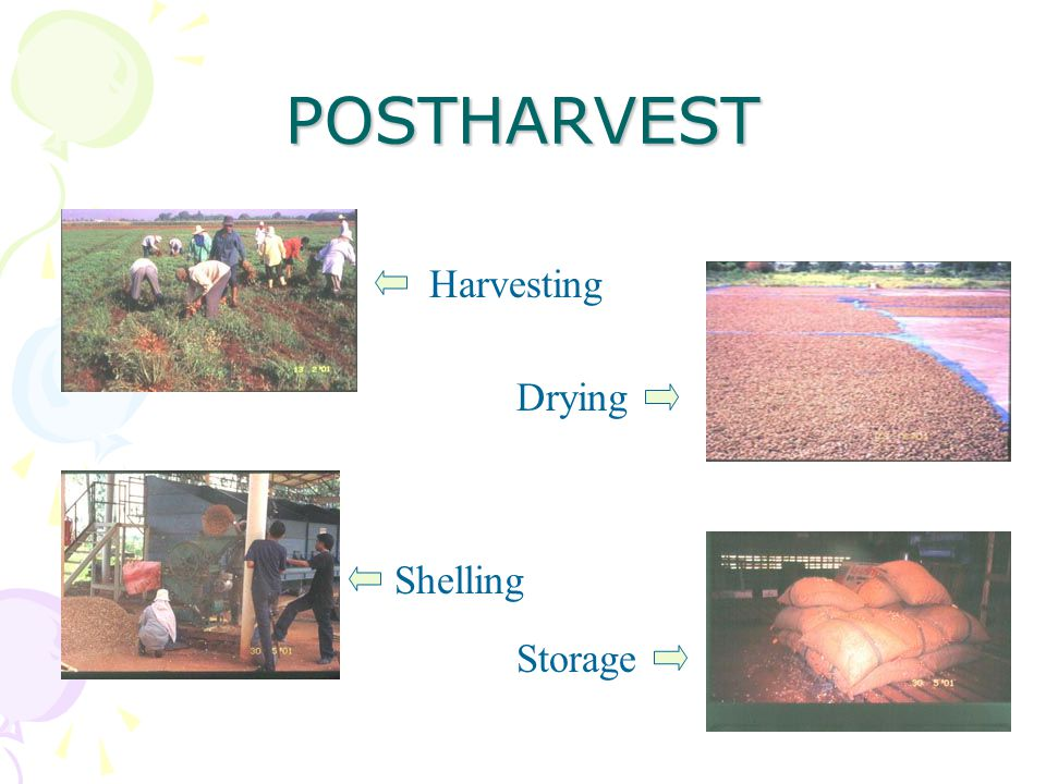 POSTHARVEST Harvesting Drying Shelling Storage