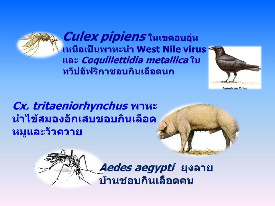 Culex pipiens ในเขตอบอุ่นเหนือเป็นพาหะนำ West Nile virus และ Coquillettidia metallica ในทวีปอัฟริกาชอบกินเลือดนก