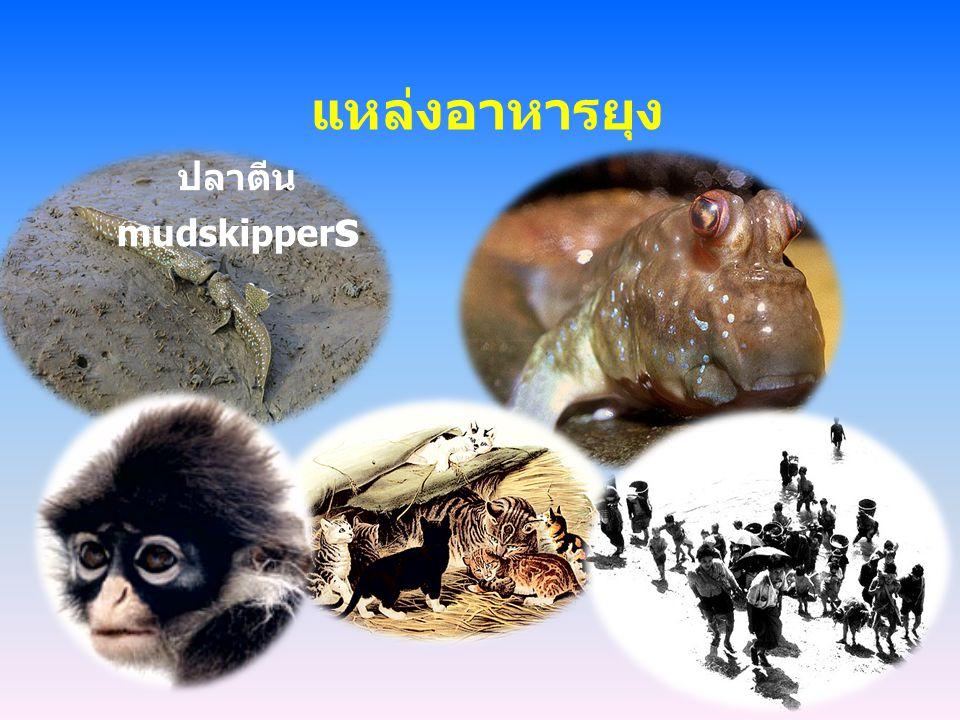 แหล่งอาหารยุง ปลาตีน mudskippers