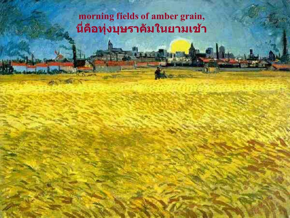 morning fields of amber grain, นี่คือทุ่งบุษราคัมในยามเช้า