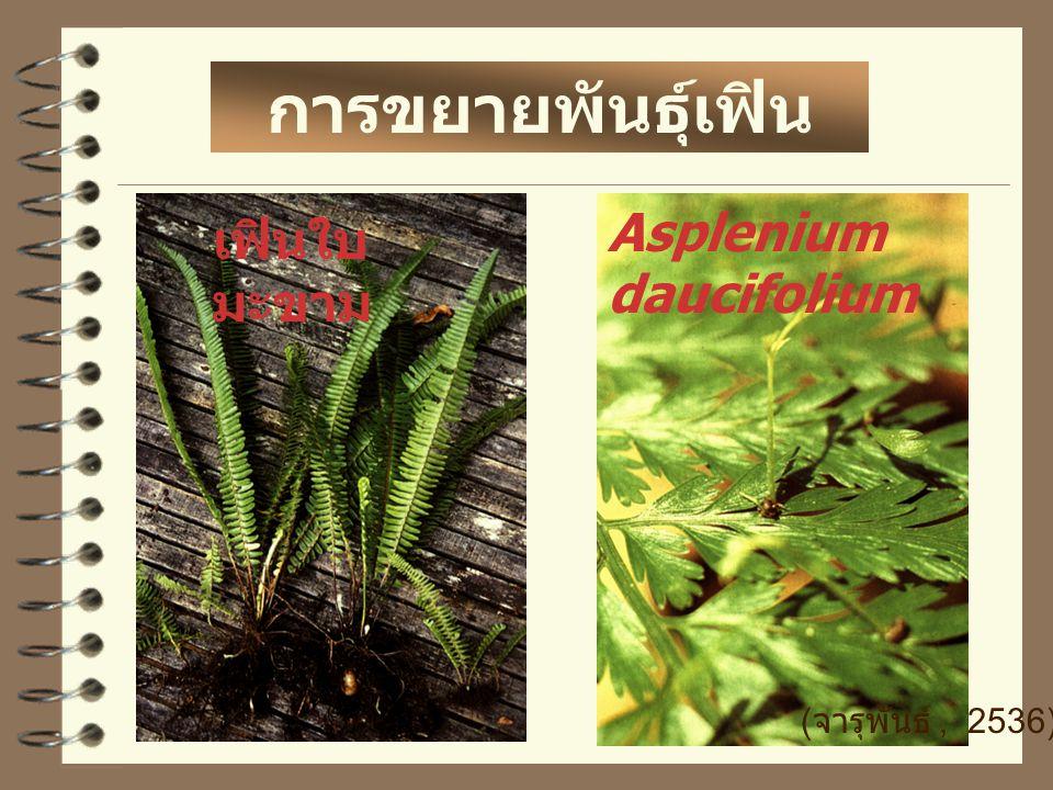 การขยายพันธุ์เฟิน Asplenium daucifolium เฟินใบมะขาม (จารุพันธ์ , 2536)