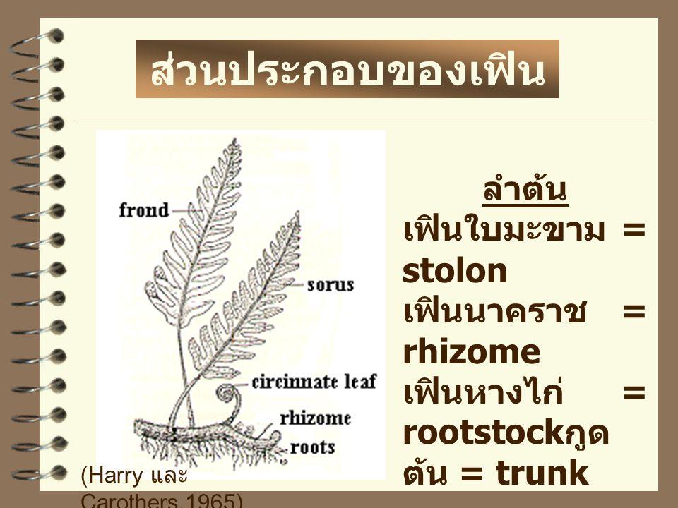 ส่วนประกอบของเฟิน ลำต้น เฟินใบมะขาม = stolon เฟินนาคราช = rhizome
