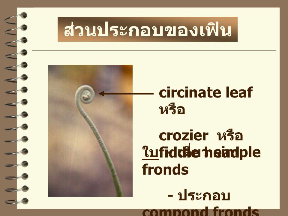 ส่วนประกอบของเฟิน circinate leaf หรือ crozier หรือ fiddle head
