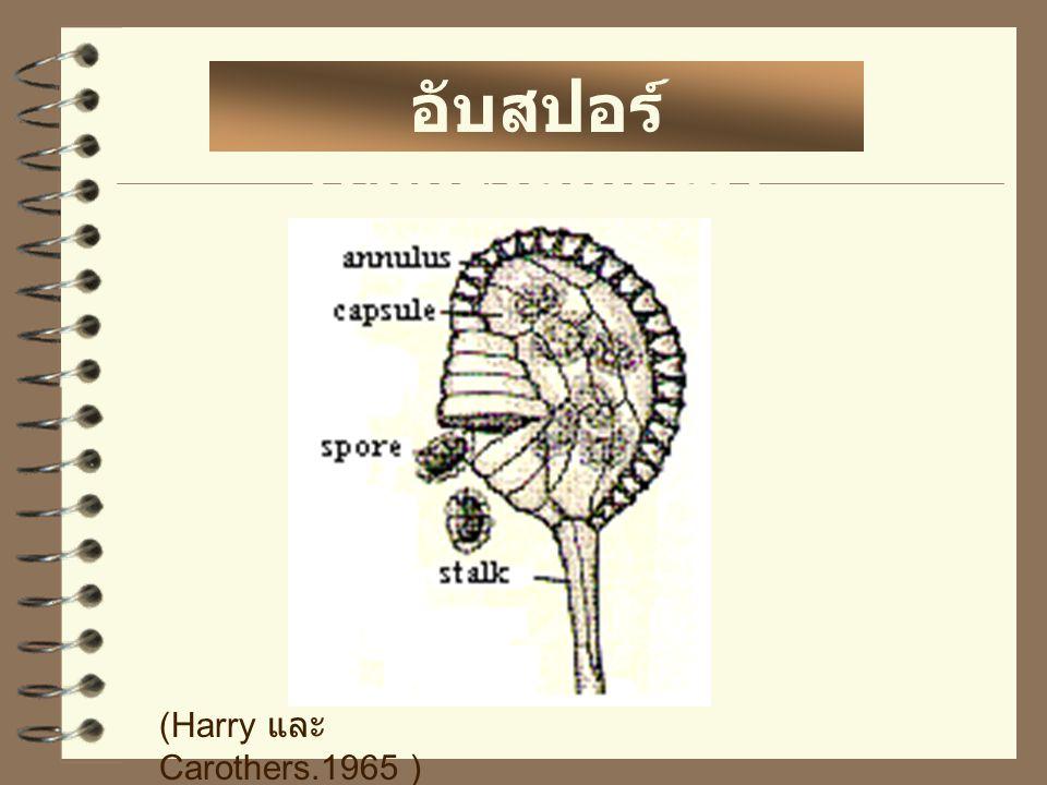อับสปอร์ (sporangium)