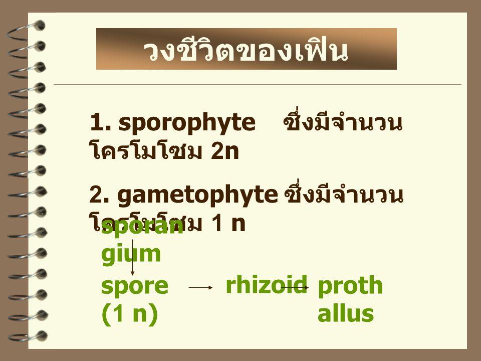 วงชีวิตของเฟิน 1. sporophyte ซึ่งมีจำนวนโครโมโซม 2n