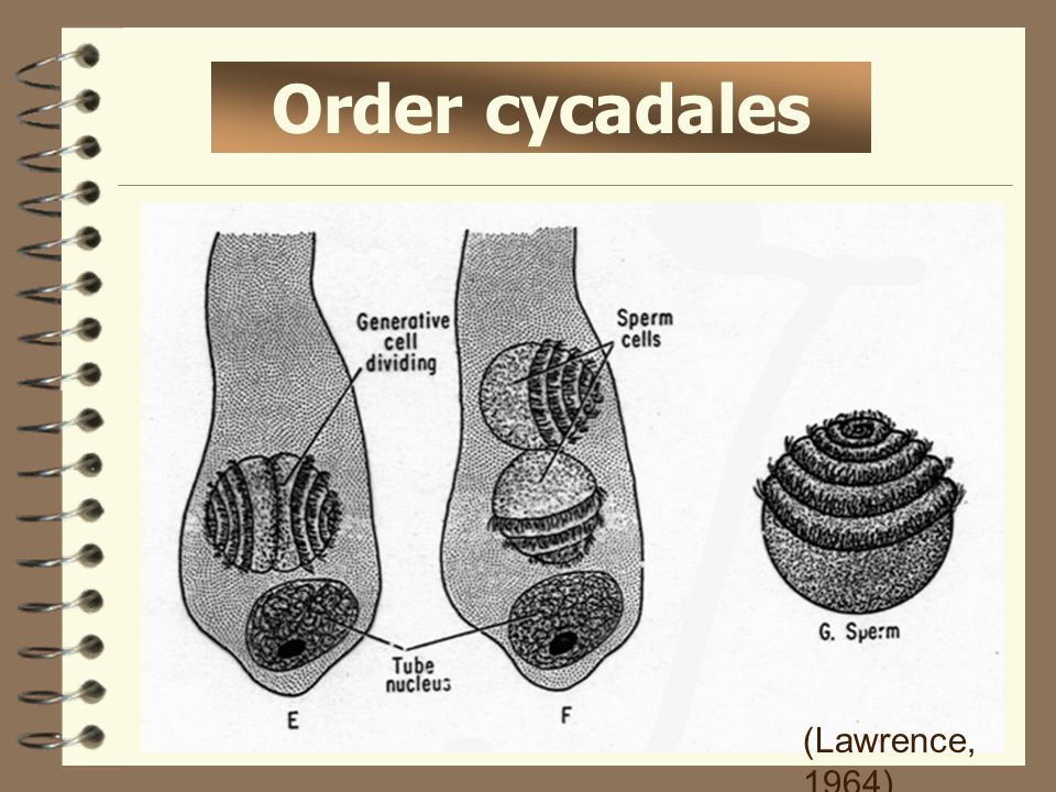 Order cycadales (Lawrence, 1964)