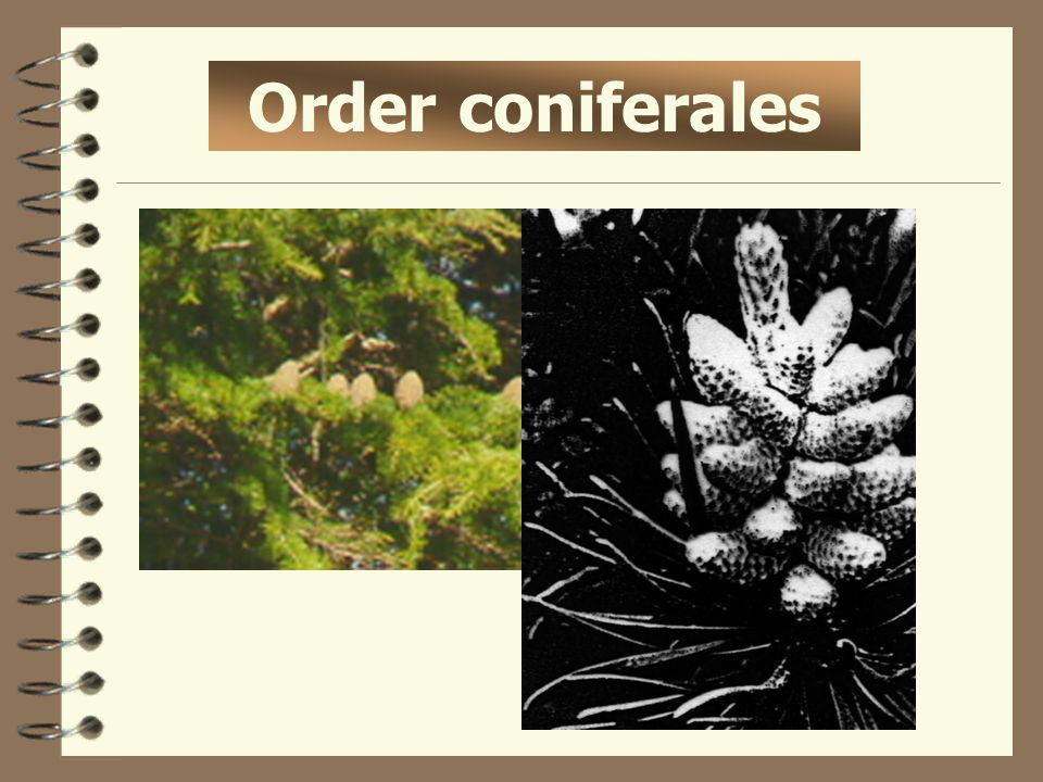Order coniferales