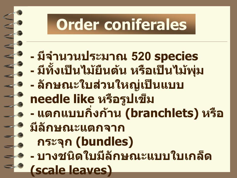 Order coniferales - มีจำนวนประมาณ 520 species