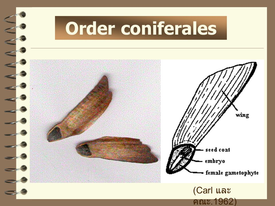 Order coniferales (Carl และ คณะ.1962)