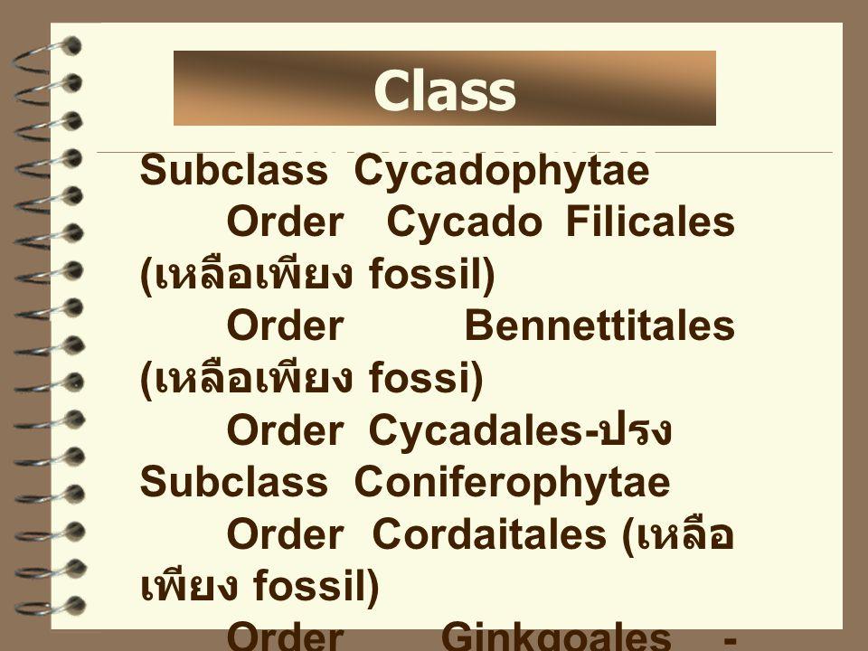 Class gymnospermae Subclass Cycadophytae