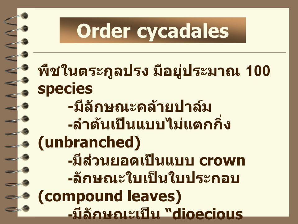 Order cycadales พืชในตระกูลปรง มีอยู่ประมาณ 100 species