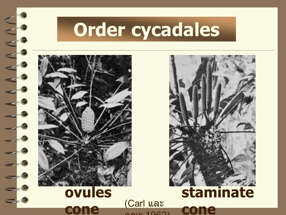 Order cycadales ovules cone staminate cone (Carl และ คณะ.1962)