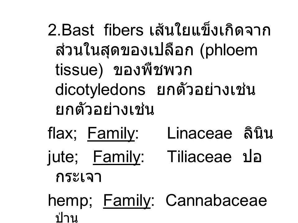 2.Bast fibers เส้นใยแข็งเกิดจากส่วนในสุดของเปลือก (phloem tissue) ของพืชพวก dicotyledons ยกตัวอย่างเช่นยกตัวอย่างเช่น
