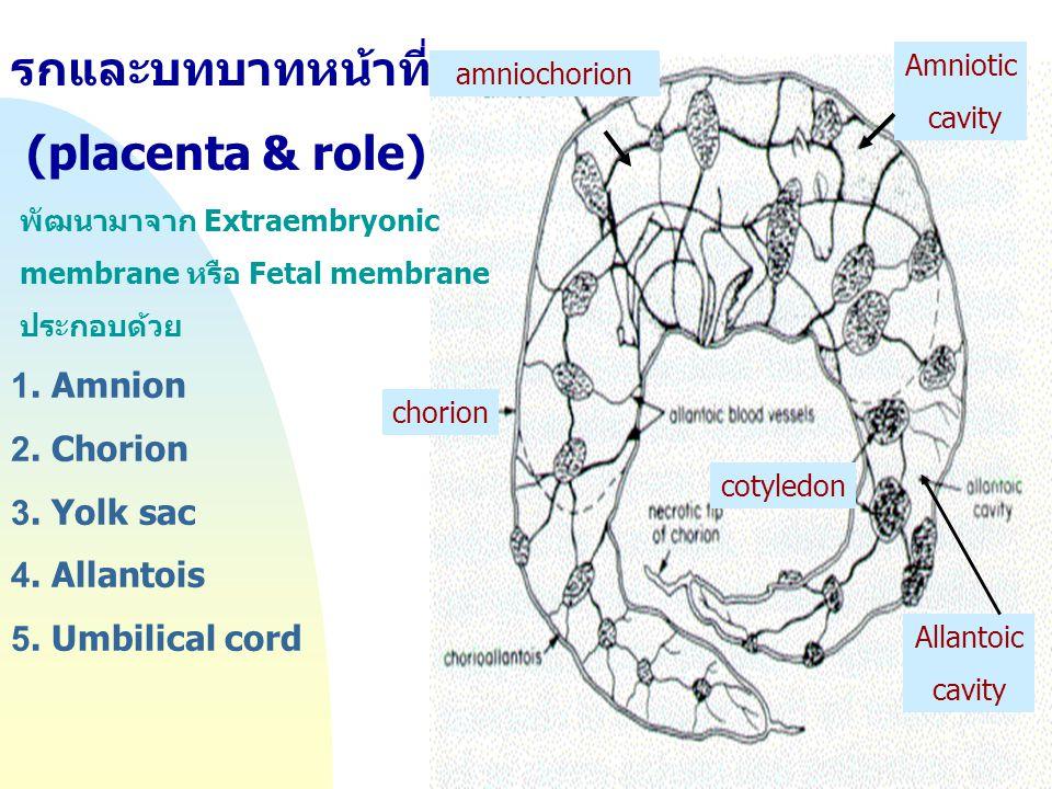 รกและบทบาทหน้าที่ (placenta & role)