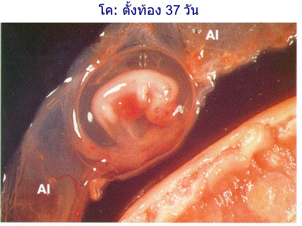 โค: ตั้งท้อง 37 วัน