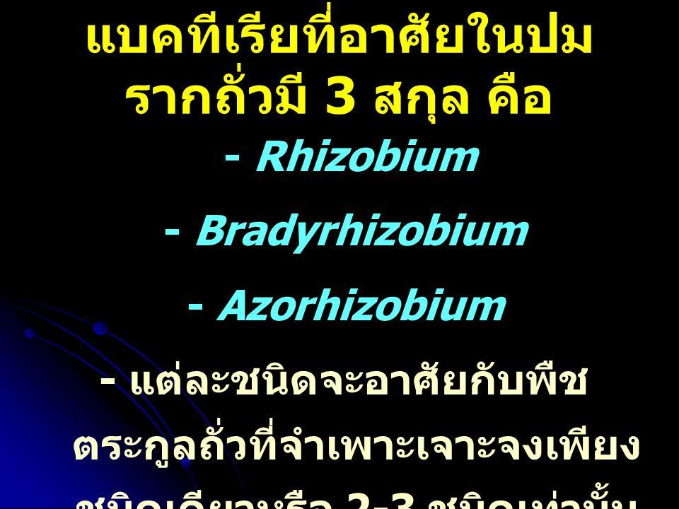 แบคทีเรียที่อาศัยในปมรากถั่วมี 3 สกุล คือ